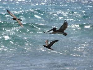 havfugle og Pelikan boltre sig, Bequia