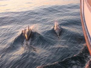 Delfiner, Floridas kyst